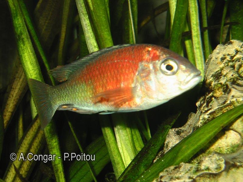 Haplochromis sp.